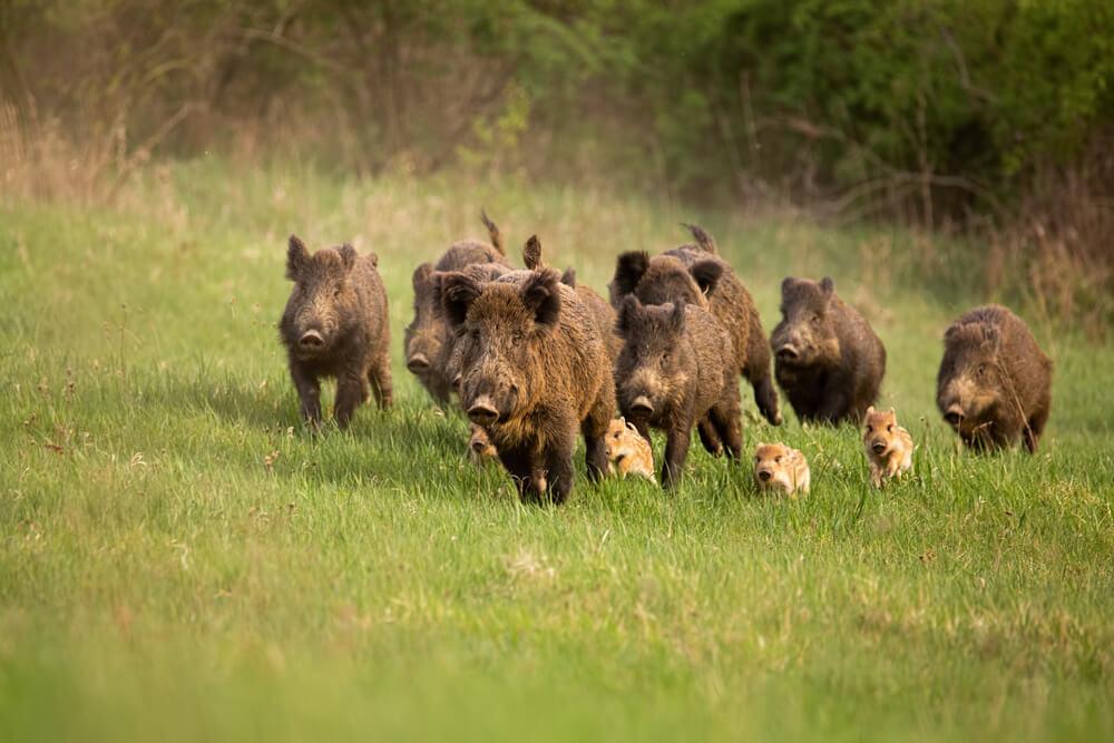 猪突猛進をする猪