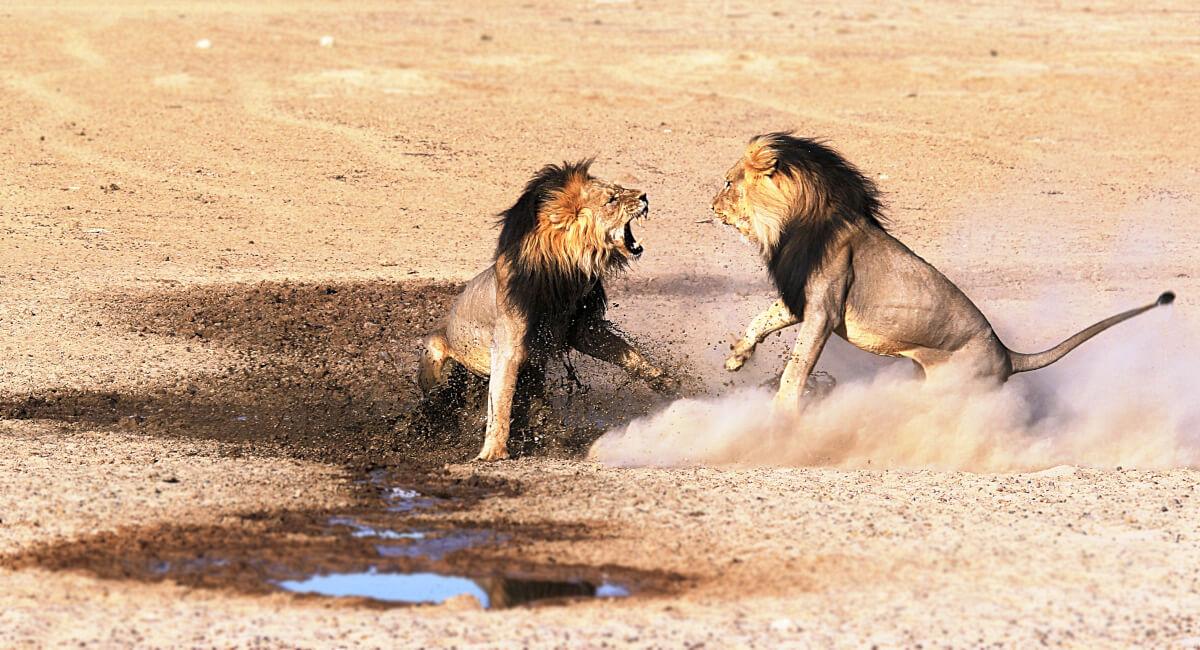 獅子奮迅のごとく戦っている獅子