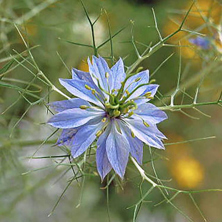 ニゲラの花