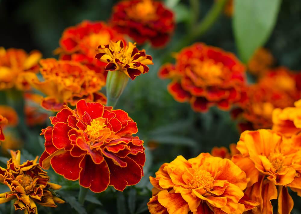 赤とオレンジのマリーゴールドの花