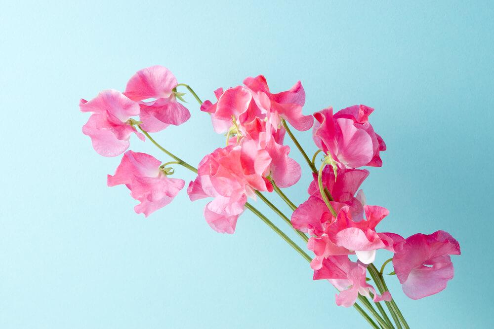 スイートピー 花 言葉 スイートピーの花言葉(季節、西洋・英語の花言葉)