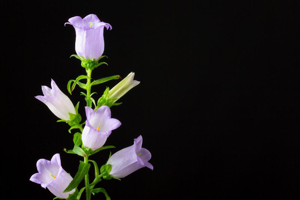 カンパニュラの花