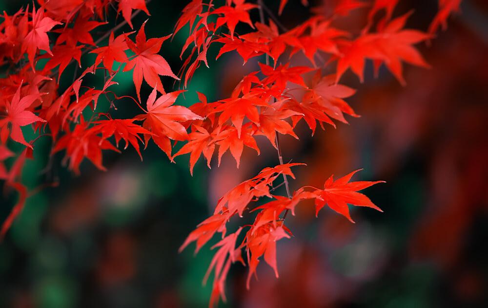 カエデの葉が紅く綺麗