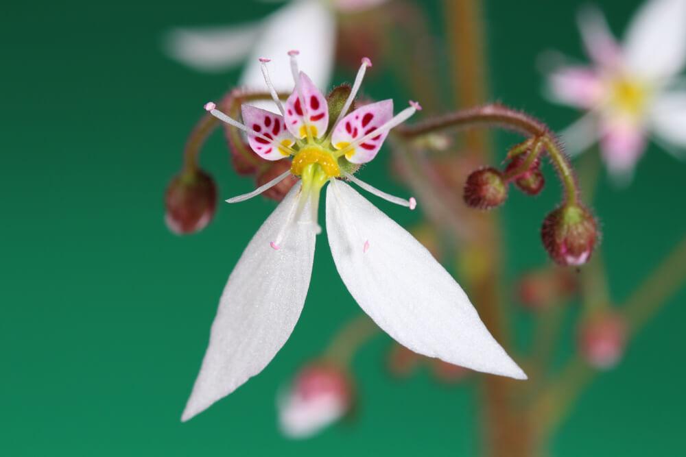 ユキノシタの花