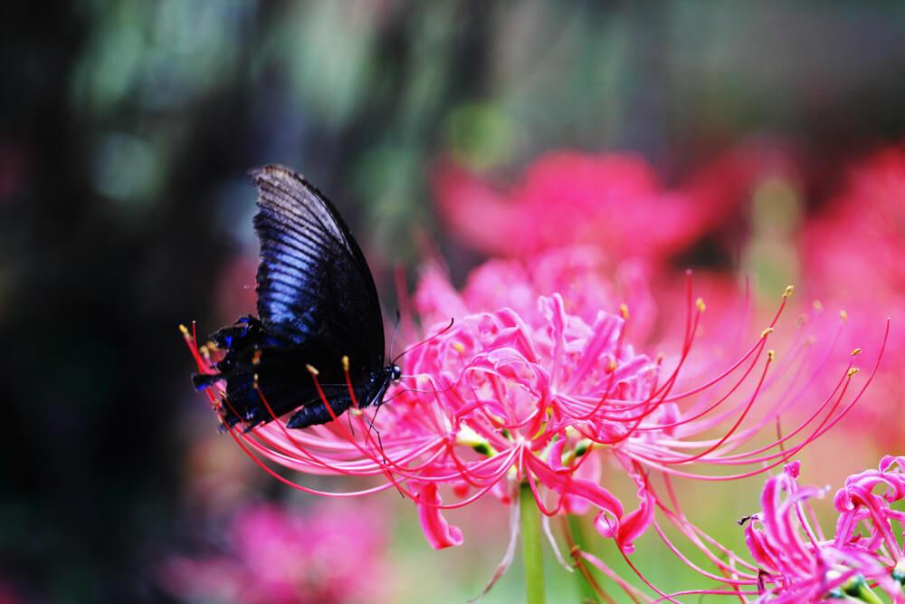 彼岸花の花