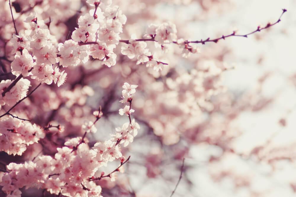 桜は美しい