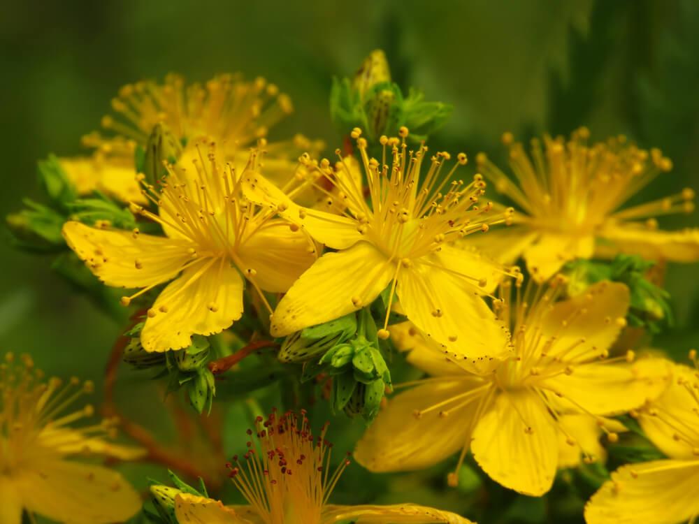 弟切草の花