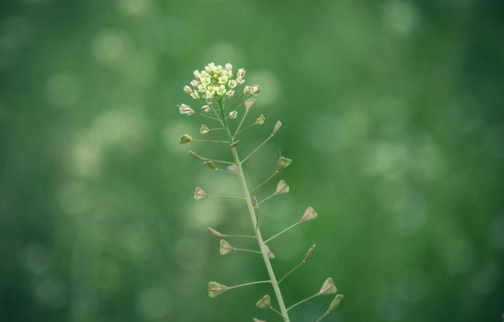 ナズナの花
