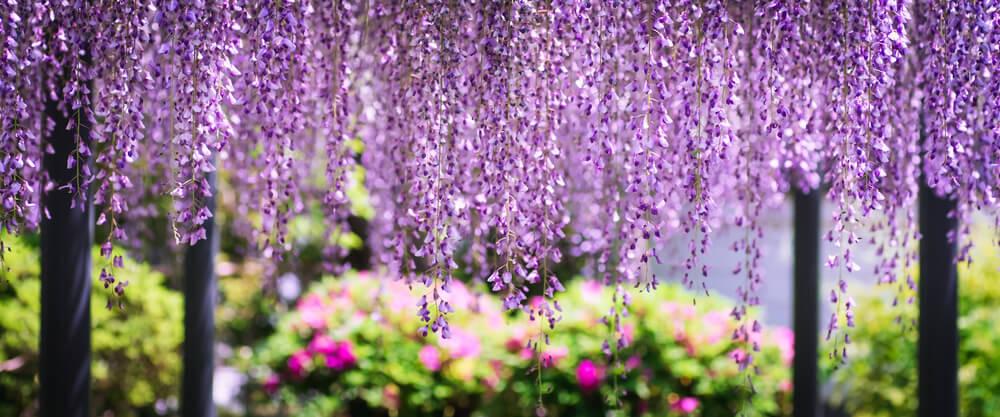フジの花のカーテンが見たくて遠出する
