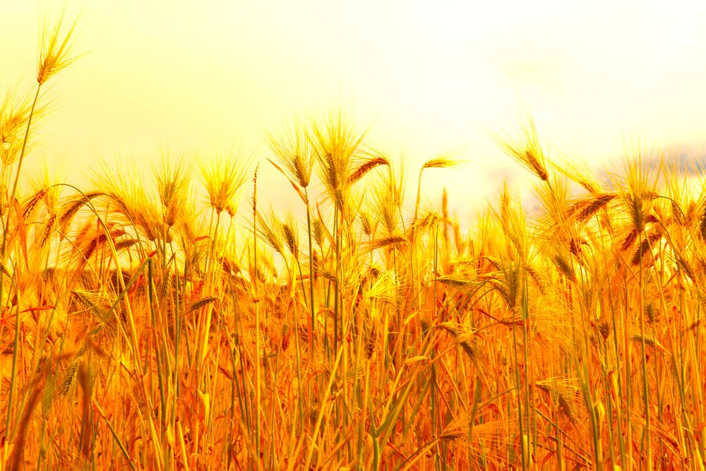 新嘗祭で豊作を願う